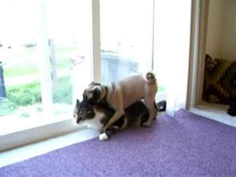 pug and cat cat and pug play it s