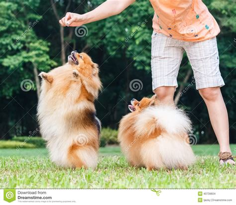 pomeranian hind legs pomeranian standing on its hind legs to get a treat stock photo image 40739604