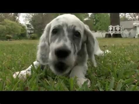 English Setter Dog 101 | dog breeds english setter dogs 101 animal planet youtube