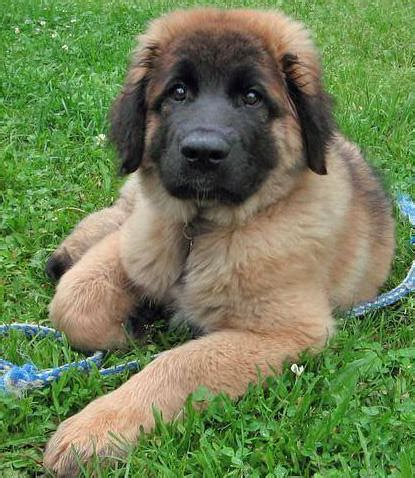 leonberger puppies cost leonberger puppy care leonberger breed information