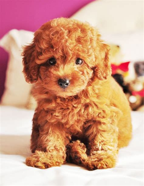 sheshan teddy bear puppies teddy bear puppy teddy bear puppies bear puppy and