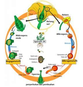 siklus hidup tumbuhan angiospermae  penjelasannya