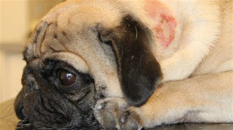 pug skin problems scabs a boxer who developed a rash all his