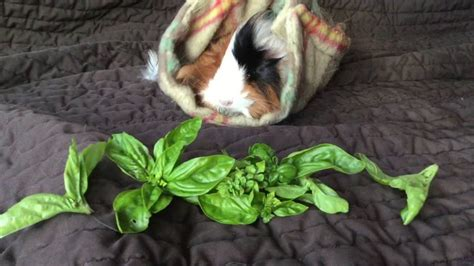can dogs eat basil can guinea pigs eat basil tips