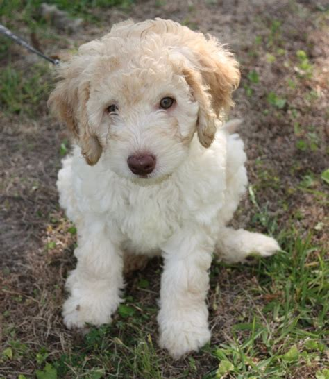 labradoodles puppies for sale qld 87 best miniature labradoodles images on