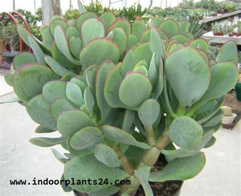 indoor plantcrassula arborescens crassulaceae chinese