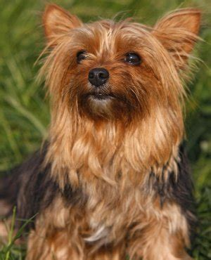 different type of yorkies different types of yorkie puppy breeds picture