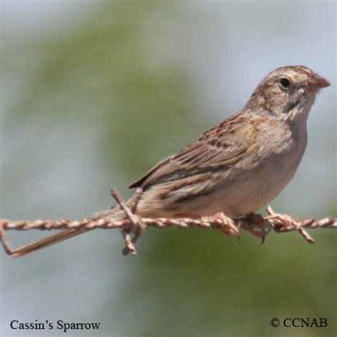 sparrows north american birds birds of north america