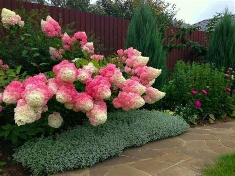 what everybody ought to know about growing strawberry hydrangeas serenity secret garden