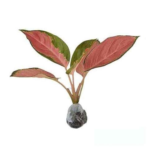 Aglaonema Widuri Bibit Tanaman Hias Daun Hidup Siap Kirim Bergaransi jual tanaman aglaonema kochin bibit