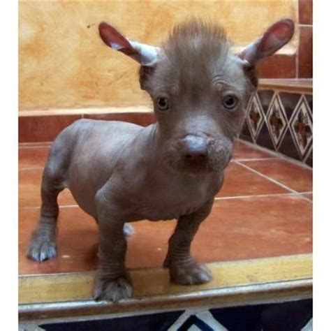 xoloitzcuintli puppies 1000 images about hairless awesomeness on chihuahuas pets and puppys