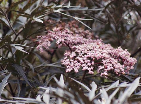 Piante Dalle Foglie Rosse by Arbusti Eccone Alcuni A Foglie Rosse Per Giardini E Siepi