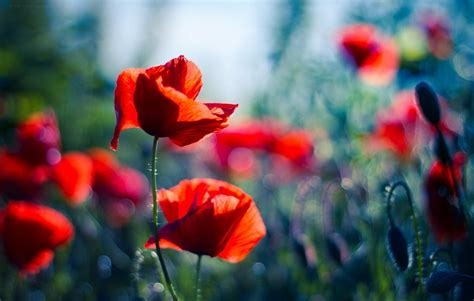 Wall Paper Wall Sticker Photo Wall Poppy 8 257 poppy hd wallpaper and background image 1920x1220 id 450957