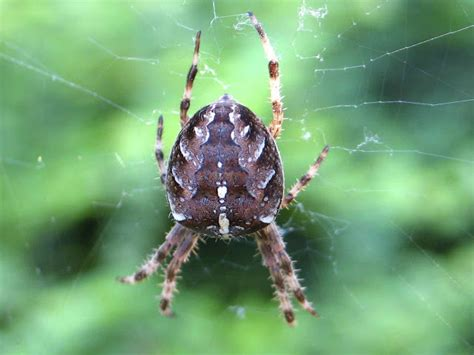 Garden Spider by Bugblog Garden Spiders