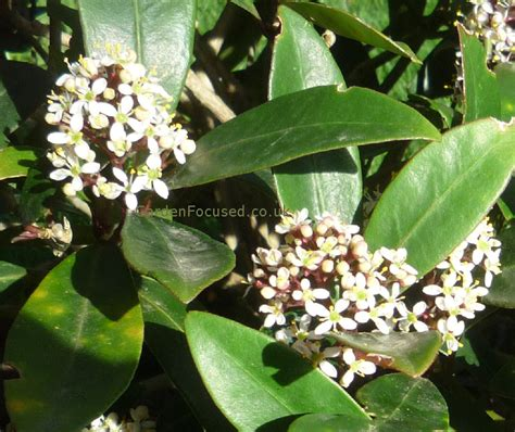 Garden Bushes With Flowers Expert Advice On Growing Skimmia In The Uk