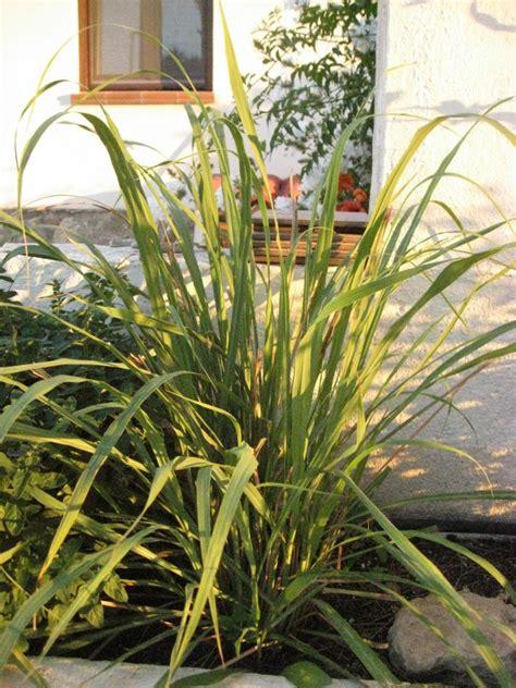 Sichtschutz Garten Pflanzen 106 by Zitronengras Lemongrass Bambus Und Pflanzenshop