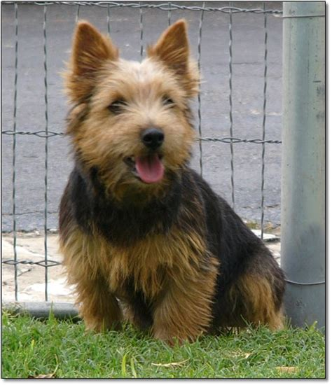 norwich terrier puppies itsy bitsy burro company norwich terriers
