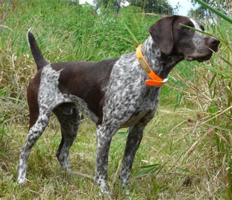 gun dogs for sale german shorthair dogs for sale outback kennels
