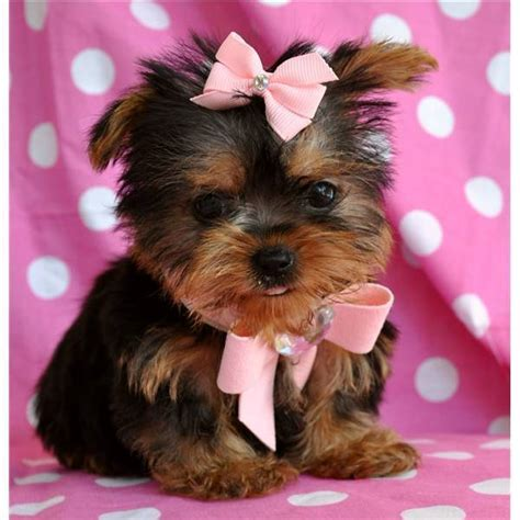 bows for yorkies yorkie image 3005967 by marine21 on favim