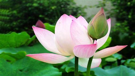 contoh gambar bunga lotus contoh
