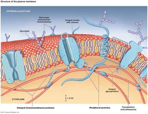 cell membrane model bing images biology plasma