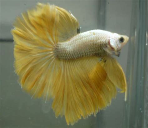Halfmoon Yellow Cupang Hias 1000 images about siamese fighting fish betta fish ikan cupang on copper