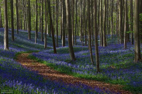 bluebell forest bluebell forest 28 images forest bluebell pictures