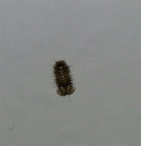 tiny bed bugs entomology bug identification is this small tubular black bug a bed bug biology