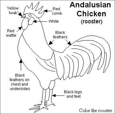 rooster diagram chooks r us things to do