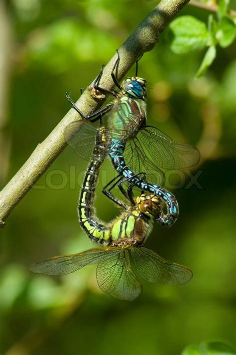 Ls Dragonfly by Libelle Insekt Paarung Weiblich Makro Natur Paar