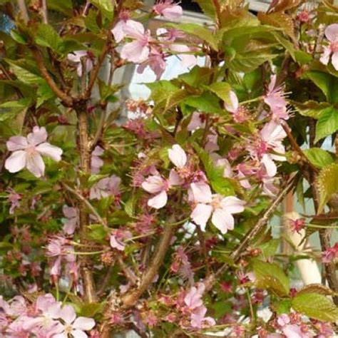 japanese cherry tree dwarf pictures to pin on pinterest pinsdaddy