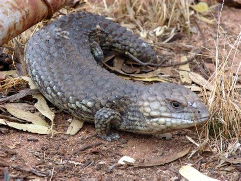 what do lizards eat and drink in backyards shingleback lizard tiliqua rugosa australian museum