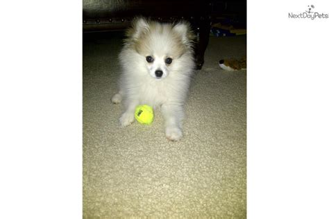 parti colored pomeranians for sale indy pomeranian puppy for sale near philadelphia pennsylvania ec768464 bae1