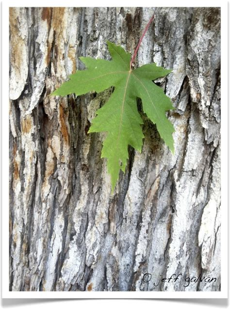maple tree bark identification silver maple tree identification identifying acer saccharinum
