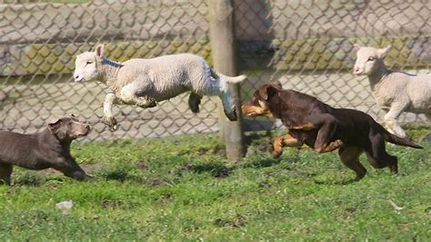 lambs farm puppies canine instructor paul macphail trains sheep herding kelpies at beloka kelpie stud