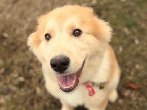 husky golden retriever puppies golden retriever husky mix pup 1