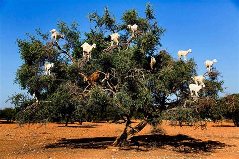 tree in goats on a tree in morocco essaouira morocco travel tips