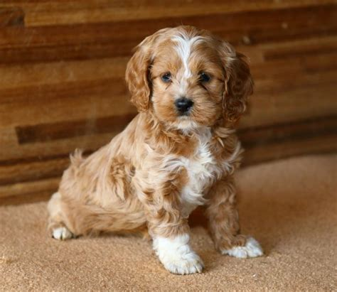 cockapoo puppies for sale in ny lovable cockapoo pups craigspets