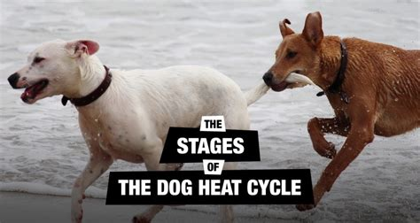 stages of heat in dogs understanding the heat cycle stages signs