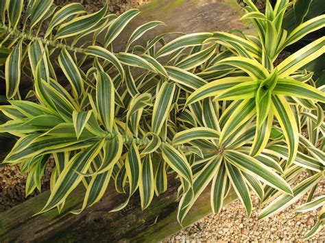 indian plant trees planet dracaena reflexa pleomele song of india