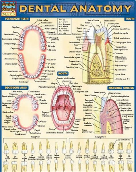 dental anatomy coloring book 94 human anatomy coloring book