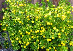 meyer lemon tree big anya s garden natural perfumes
