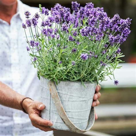 jual tanaman hidup bibit tanaman bunga english lavender