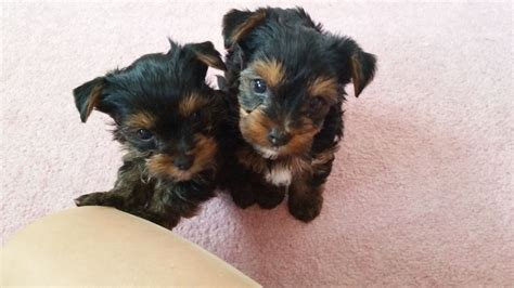 large yorkies for sale images of terrier for sale in lincolnshire wallpaper breeds picture