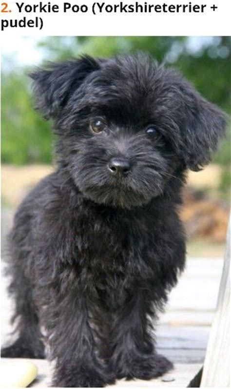 yorkie poo grown up 17 best images about yorkie poos on poodles puppys and yorkie