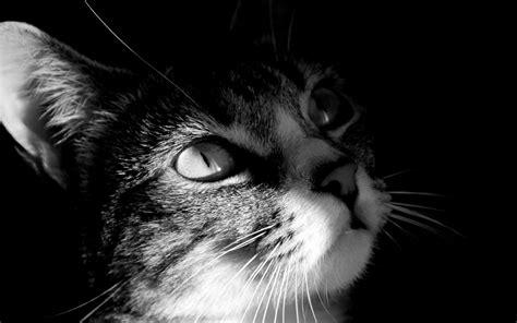 imágenes en blanco y negro con un toque de color gato en blanco y negro 1680x1050 fondos de pantalla y