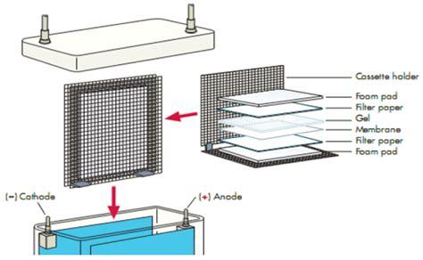 western blot cassette western blotting fundamental principle how western blots
