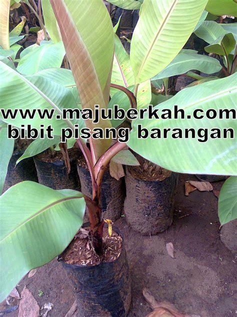 Benih Pisang Ambon memilih bibit pisang barangan bibit tanaman pisang