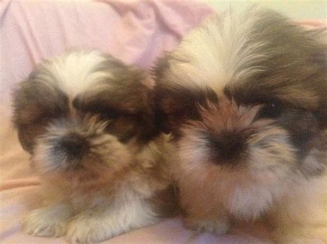 shih tzu puppies for sale bc shih tzu puppies for sale in somerset somerset uk shih tzu puppy breeds picture