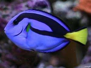 Tang Kecil Merah Hitam info bolu 10 ikan tercantik di dunia
